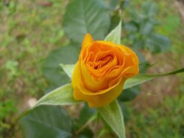 yellow rose by Stephanike