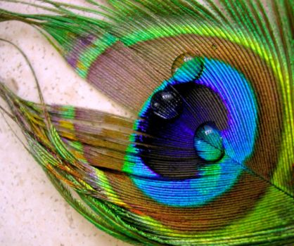 A peacock feather by essenga