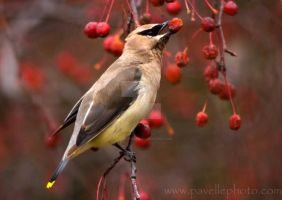 Cedar Waxwing by RogerPavelle
