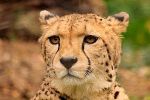 Cheetah is judging you by psychostange