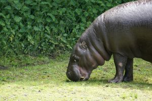 G-ZOO PYGMY HIPPO by CHRISwillar