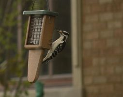 Female Hairy Woodpecker May - 2014 - 1 by toshema