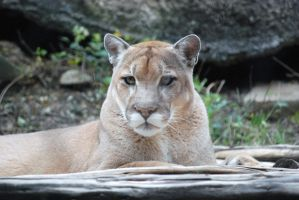 Cougar Portrait by ManitouWolf