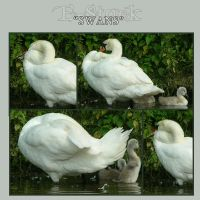 Swan Pack 2 by E-Stock