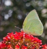 Butterfly by TusharBoss