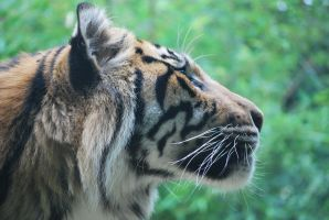 tiger 3.5 by meihua-stock