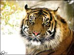 Snow suits to Sumatran tiger by woxys