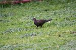 melanistic Turtle-dove by Shirukiba