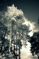 more pines infrared by Wunderling