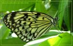 Unknown Green Butterfly by Asura-Valkyrie