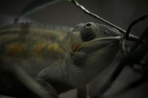 Chameleon by Clangston