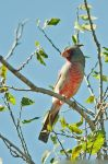Texas Pyrrhuloxia by robbobert