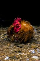 Rooster 4 by Mackingster