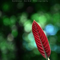 feather by sandeepsarma