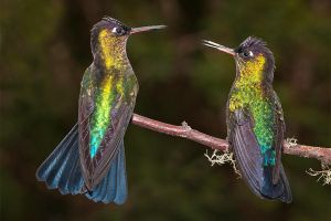 Girl's Talk - Fiery-throated hummingbirds by Jamie-MacArthur