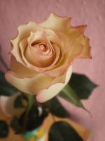 white/pink rose by MichaelQue