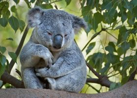 Koala Not Bear by DeniseSoden
