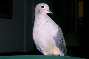 My Dove 6 by LuLupoo