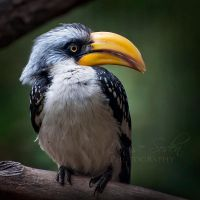Hornbill Squared by DeniseSoden