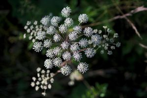 Angelica sylvestris by perost