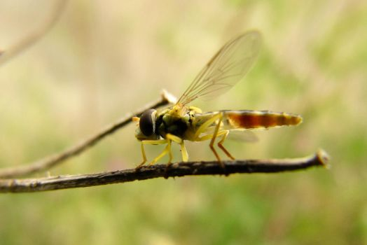 Miss Hover Fly by Youcef07
