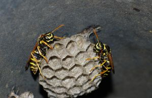 Ose or wasps by cinik33