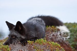 Young Black Fox in the Wild 4 by Witch-Dr-Tim