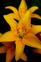 Yellow Lily by Anotherproductofyou