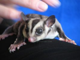 Echo my Sugar Glider by Zorias