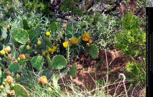 Prickly Pear Cactus 3 by DamselStock