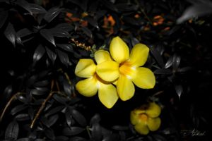 Yellow Periwinkle by ahmad0410