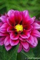 Pink Dahlia 3 by poetcrystaldawn