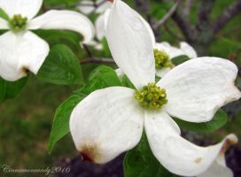White Dogwood by Cinnamoncandy