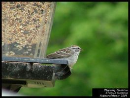 Chipping Sparrow by Aideon