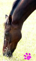 Grazing Horse Close-up (12.07.13) by LacedShadowDiamond