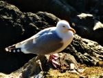 Common Gull by derekbeattieimages