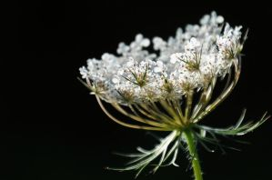 Dream of Queen Anne's Lace by Althytrion