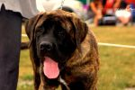 English Bullmastiff by OurCoreKonvictions