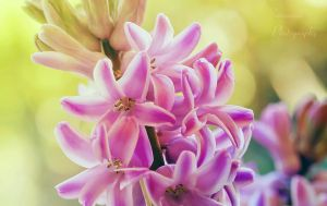 Hyacinth blossom by PhotoBySavannah