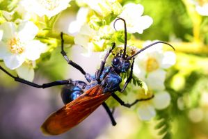 Tarantula Hawk by sellsworth