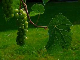 Bunch of grapes by houk