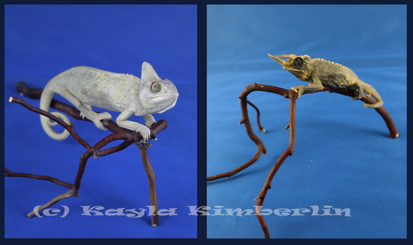 Taxidermy Chameleons by BluesCuriosities