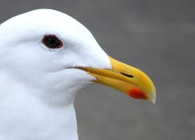 Gull Up Close by TankGirl86
