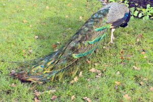 The Holland Park Peacock Tail Painting by aegiandyad