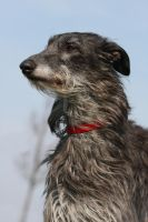 Scottish Deerhound by SaNNaS