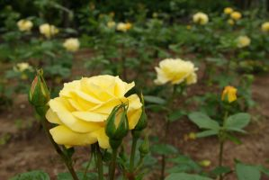 Yellow Roses by racehorse87