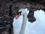 Swan daddy early Spring by Mogrianne