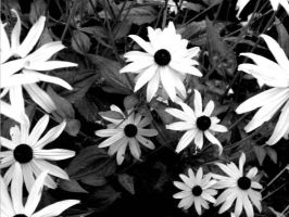 Black eyed susansII by xThsIsRltyGregx