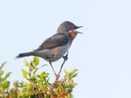 Any girls out there? - Sub-Alpine Warbler by Jamie-MacArthur