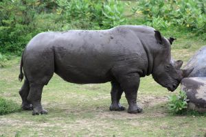 Rhinocerous stock by A68Stock